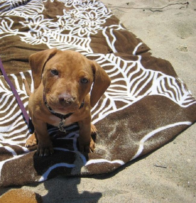 pitbull weiner dog mix for sale