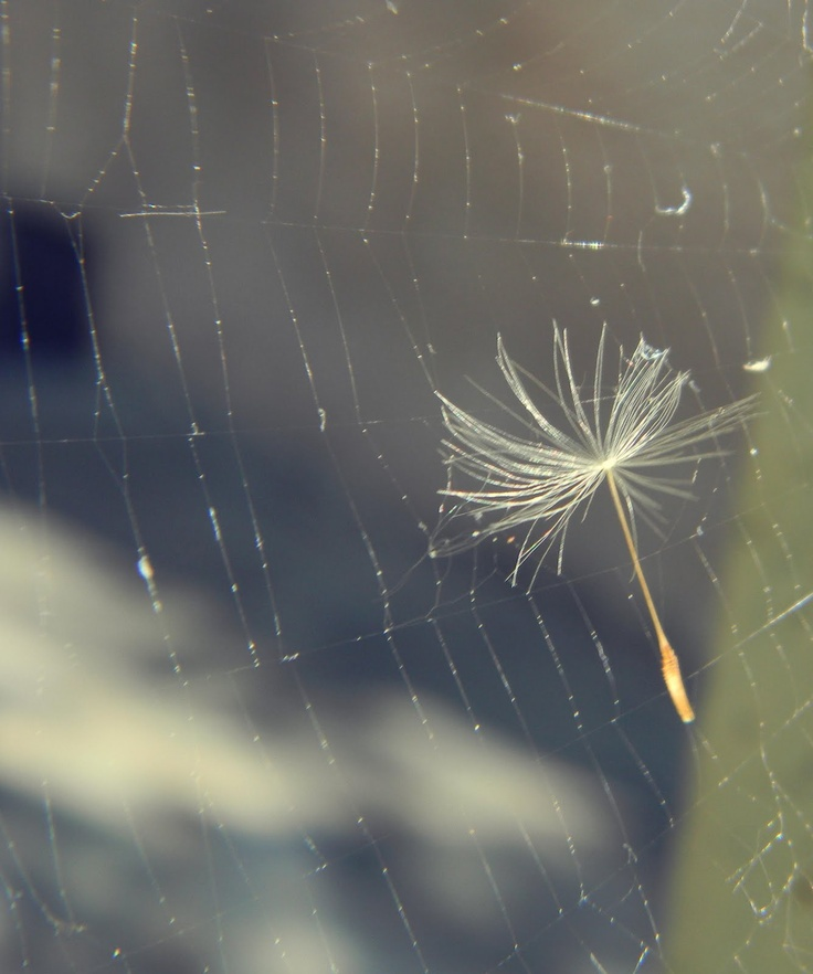 dandelion fluff caught in spiderweb