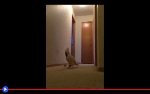 La corsa nevrotica del pappagallo #animali #uccelli #strano #divertente