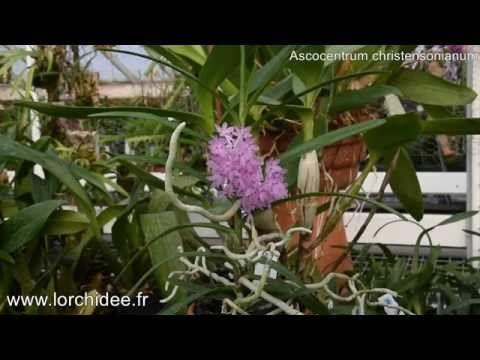Ascocentrum christensonianum - Orchidées Vacherot et Lecoufle - Lorchide...