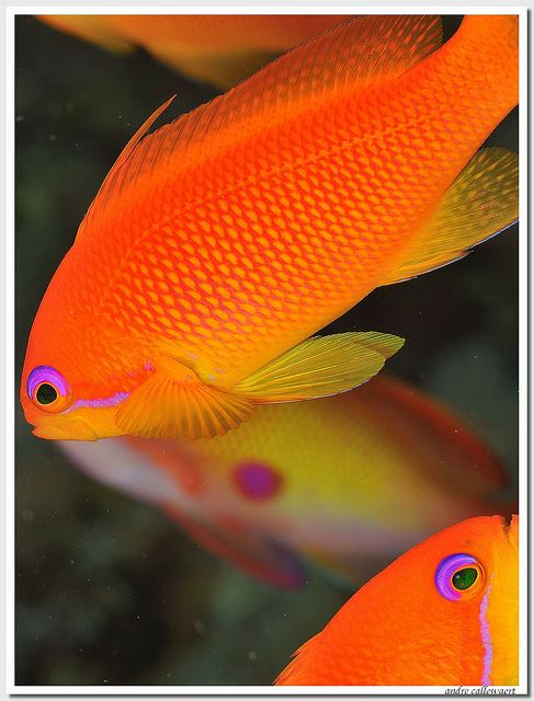 #Anthias, Red Sea #orange