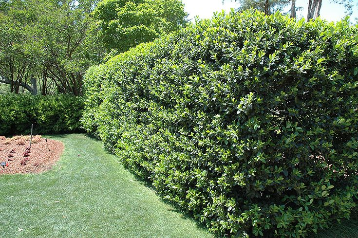 Fast Growing Shrubs Shrubs Fast Growing And Tops