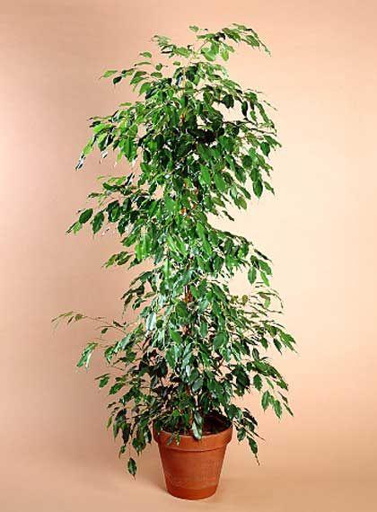 Plantas de interior ficus rien de rien pinterest for Plantas ornamentales de interio