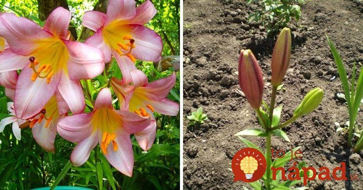 Ľalie milujem – sú úžasné, čisté a krásne, jednoducho u mňa kráľovné medzi kvetmi. Dlho sa mi nedarilo pri ich pestovaní a tak som sa informovala priamo v záhradkárstve a milá pani mi prezradila podrobný postup.