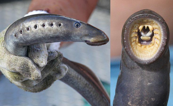 IlPost - Lampreda - Le lamprede appartengono all'ordine Petromyzontiformes. Hanno un corpo cilindrico e ricordano quello dei serpenti o delle anguille. Sono animali acquatici con una bocca circolare fitta di denti, che si attacca come una ventosa alle prede. Per nutrirsi succhiano il sangue agli altri pesci, dopo averne raschiato la carne con i denti e la lingua.