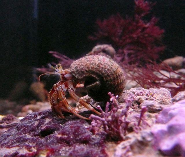 Fine Foundation Marine Cetre #marine #hermit #crab #sea #ocean #water #pink #purple #animal #kimmeridge