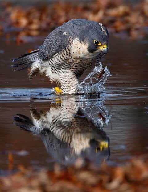 ••• Хищные птицы и Соколиная охота •••