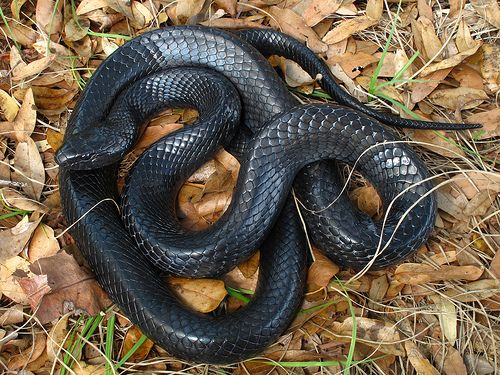 Eastern Indigo snake (Drymarchon Corias Couperi), Rainbow Springs State Park, Marion County, Florida 1 by Alan Cressler, via Flickr