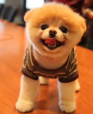 most adorable dog ever sarahisabelle: Cutest Dogs, Pet, Most Adorable Animal, Adorable Bunnies, Pomeranians, Things, Fluffy Puppies, Boo The Dogs, Make Me Smile