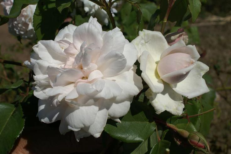 Mme Alfred Carrière   (Noisette) Large, sweetly scented white tinted with flesh-pink blooms. Will flower continuously into Winter.