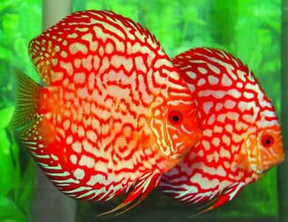 The use of complimentary colours of red and green creates great contrast. There is contrast between warm and cool in this photo. There is a slight contrast in shape (the rounded fish verses the rectangular background)