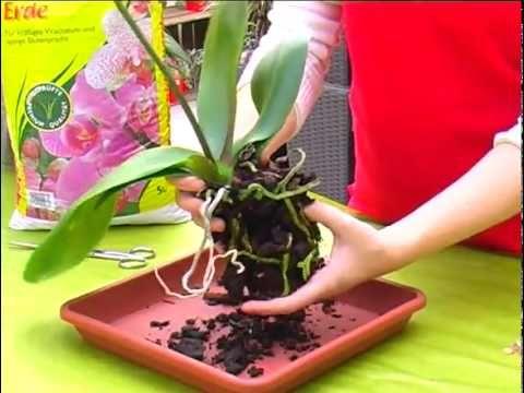 Orchideenpflege (Phalaenopsis)
