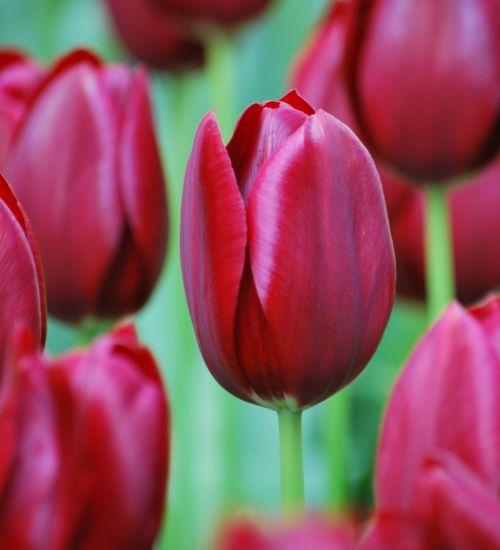 Glossy like a racehorse on tall, elegant stems – a cracking tulip! national Velvet from sarah raven