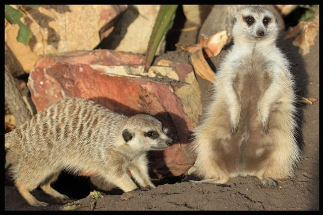 "Meerkats are highly social animals that live in groups called a ""mob"" or ""gang""."