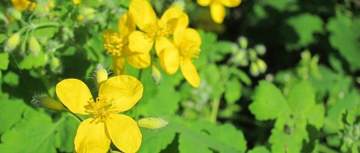 Chélidoine : une plante contre les verrues plantaires