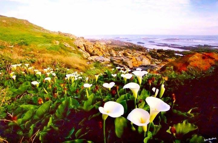 Arum lilies close to Schoenmakerskop, Port Elizabeth, South Africa. Photo by Luc Hosten, Friends of Schoenmakerskop