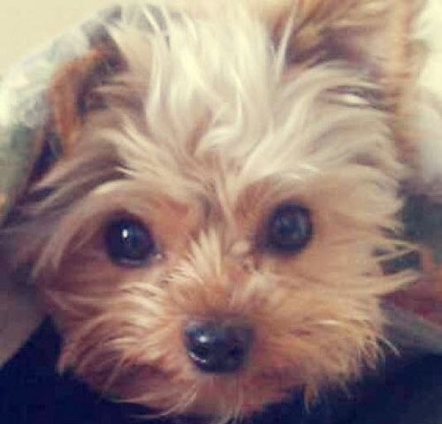 Yorkshire Terrier how could you resist that face???