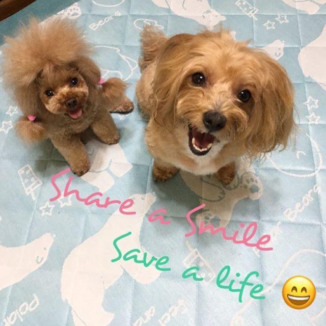 茶之丸くん&小豆ちゃんパパの @chanopapa さんから #笑顔のバトン をいただきました❣️ * アメリカでのハリケーンによって被害にあったワンちゃん達🐶 * 1匹でも多くのワンちゃん達が助かりますように🙏✨ * 愛犬の笑顔の写真に #FurboSmile のタグをつけて投稿すると1シェアに付き1$の寄付をしていただけるそうです。 * 勝手ながら、フランのいとこちゃんの @lamer0226 さんといつもおソロコーデの可愛い @lovelovetiffatan  さんにタグを付けさせていただきました❤️ * 9/19日までなようなのでお時間がありましたらよろしくお願いします💕 * お忙しいときはスルーで構いません😉 *  #poodle #poodle_feature #teacup #toypoo #toypoodle #teacuppoodle #teacuplover #toypoodlelove #poodlemix #instadog #dog #doglover…