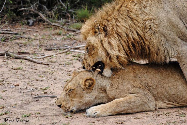 Kruger Park Top 10 Lions Mating