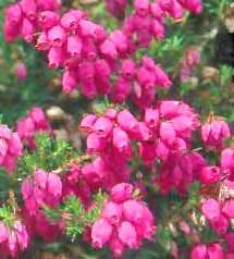Heather (Calluna vulgaris) Scotch Heather, is an evergreen branching shrub. Flowers bloom in late summer. The flower's various cultivars come in colors ranging from white, through pink, a wide range of purples and reds. Different varieties of Heather flowers bloom from late July to November in the northern hemisphere. The flowers may turn brown but still remain on the plants over winter, and this can lead to interesting effects. theflowerexpert