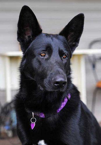 Black German Shepherd beauty