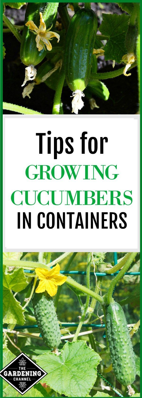 Growing cucumbers in containers. Follow these tips and you can grow cucumbers easily any place in your garden with 6 hours of sun.