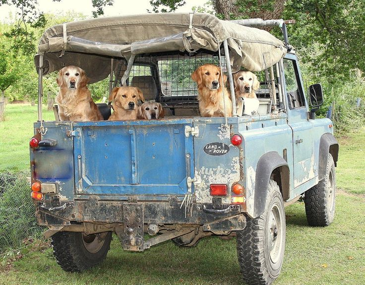 Dogs having fun raiding in open Land Rover - App for Land & Range Rovers warning lights and problems. https://itunes.apple.com/us/app/land-rover-indicators-warning/id923728395?ls=1&mt=8