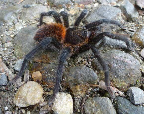 Newly-Discovered Species of Tarantula Named after Gabriel Garcia Marquez Jun 30, 2016 by Enrico de Lazaro