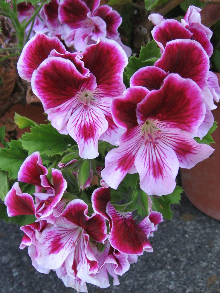✯ Pink Martha Washington - Geranium