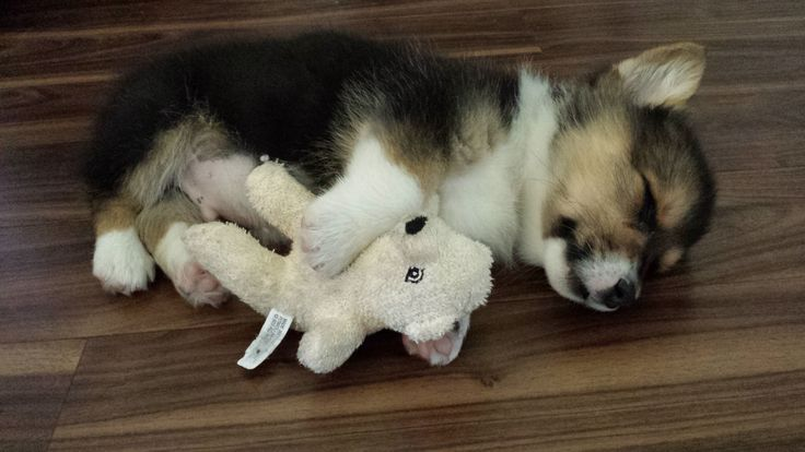 Sleeping Corgi Puppy With His Teddy Bear Corgi Puppies