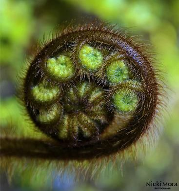 The curled Ponga (Tree Fern) koru. The koru is the budlike beginning of a fern leaf before it opens. The symbol is prominent in traditional Maori art motifs such as bone and wood carvings, and tattoos (moko). The unfurling koru leaf pattern represents new beginnings.