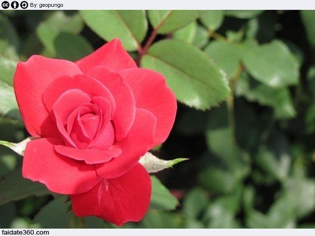 Una guida informativa e pratica su come, quando e di quanto potare le rose, dalle rose in vaso alle rose in giardino, dalle rose a cespuglio alle rose rampicanti, da quelle antiche a quelle striscianti, alle rose in miniatura, agli attrezzi necessari alle tecniche di potatura.