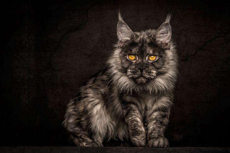 Trop beau! Ce photographe a su capter la majesté des chats de race «Main coon» et les clichés sont magnifiques