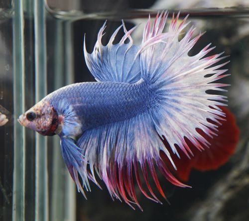 17 best ideas about betta fish bowl on pinterest pet for Best place to buy betta fish online