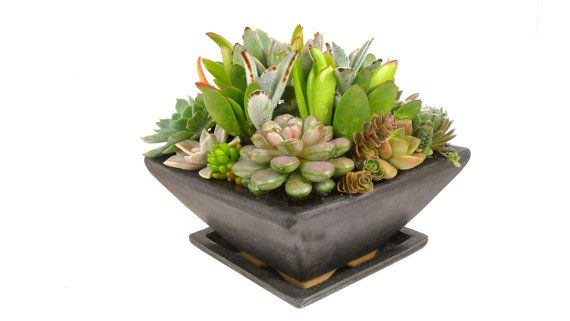 Succulent mix in a black speckled square ceramic pot centerpiece dish garden gifts favors modern - Dish garden containers ...