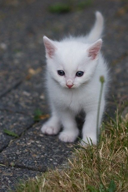 Delicate white kitten with pink ears by Lailah