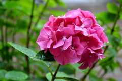 Nadia Mikushova. A Close-up of pink hortensia flower in summer Royalty Free Stock Photography