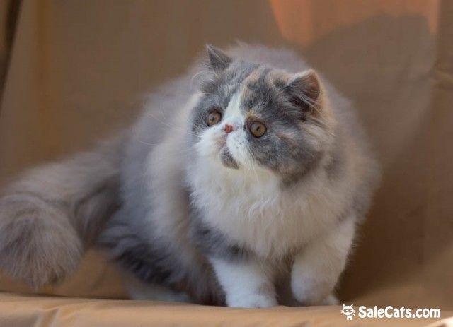 Продаются персидские и экзотические котята из питомника MURRRRLYCA. Производители проверены на PKD – генетически здоровы. Котята полностью привиты. Приучены к грумингу, лотку и когте точке.Производители нашего питомника потомки известных американских и европейских линий: BOBERAN, BUDMAR, COVENTGARDEN, D`CLASS, D`EDEN LOVER, DIVINATION, HARWOOD, KISSABLES, OCALICOS, PAJEAN и др.Наш сайт http://murrrlyca.ru/  http://salecats.com/board/64-kotjata-iz-pitomnika-murrrlyca.html
