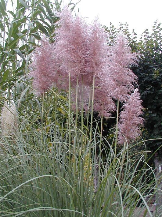 pampas grass flora pinterest botanique plantes et. Black Bedroom Furniture Sets. Home Design Ideas