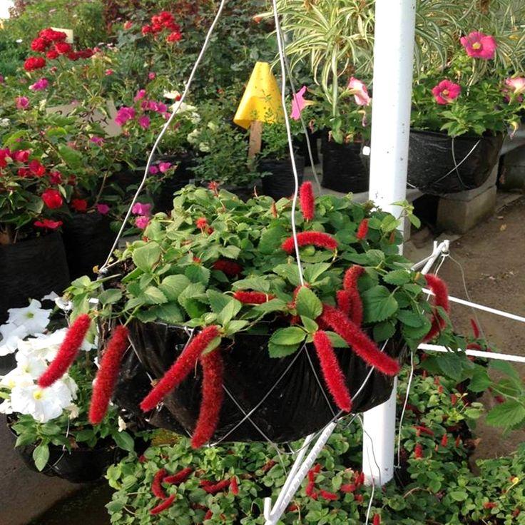conocida como gusanitos la acalifa es una planta colgante