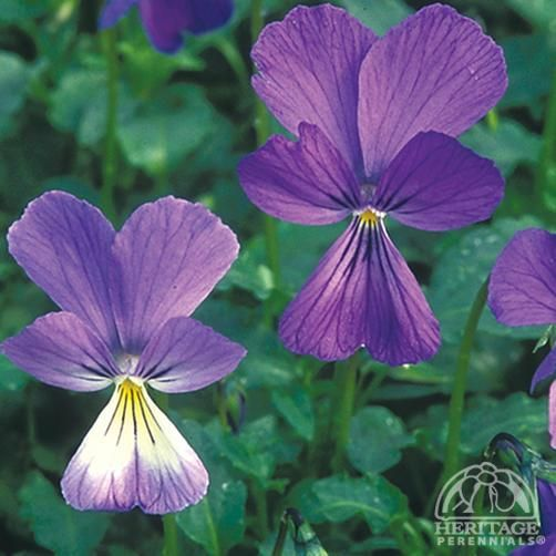 Plant Profile for Viola corsica - Corsican Violet Perennial (early spring)
