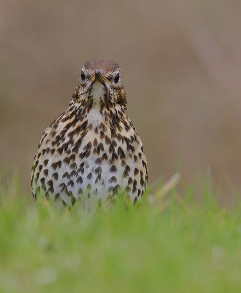Vogel foto: Turdus philomelos / Zanglijster / Song Thrush