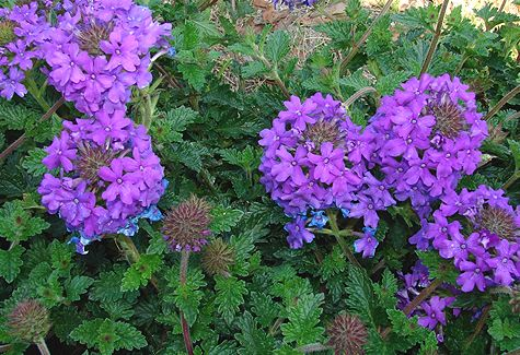 1000 images about plants i want in my garden on pinterest for Verbena pianta