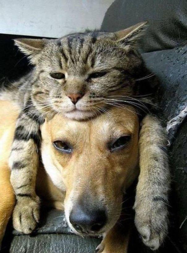 Gatti che usano cani come cuscini