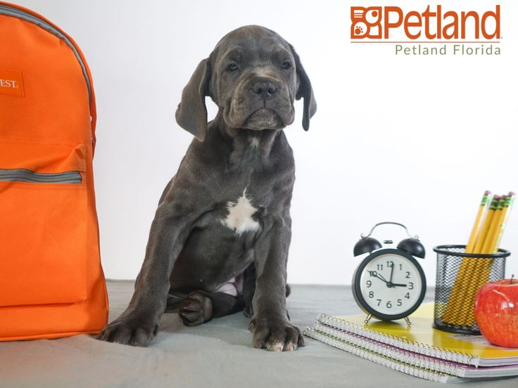 Puppies For Sale Mastiff Puppies Puppies For Sale Puppy Friends