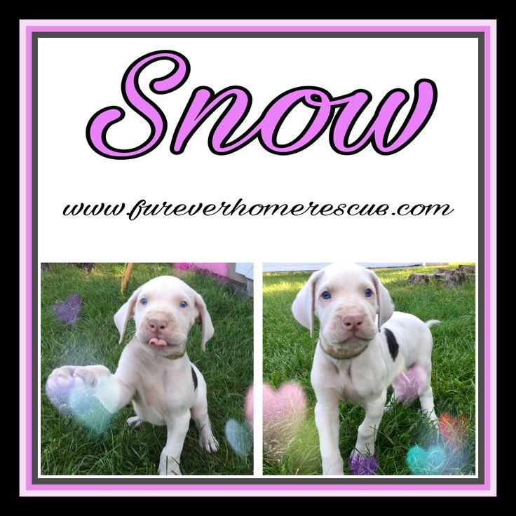Great Dane dog for Adoption in Blaine, MN. ADN-598657 on PuppyFinder.com Gender: Female. Age: Baby