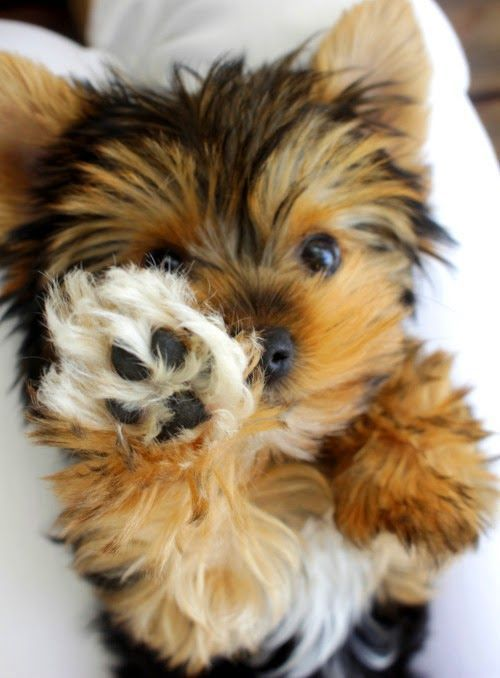 In love. Always wanted a Yorkie but don't want to support a puppy mill #HypoallergenicDog
