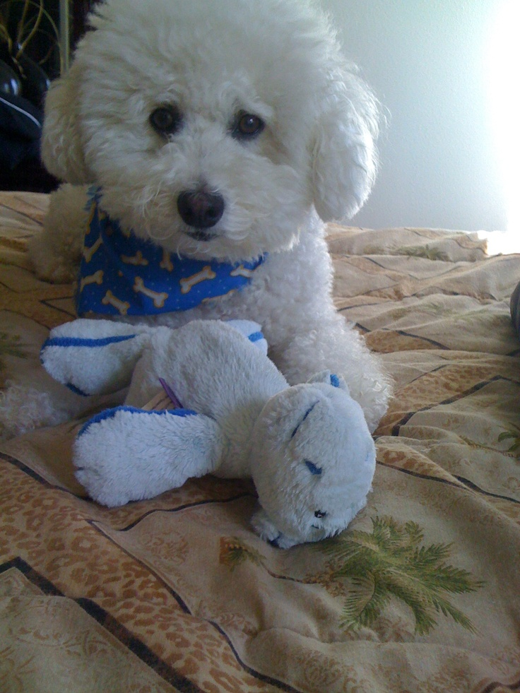 I hope today is a Doggy Beach Day Mommy! Bichon dog