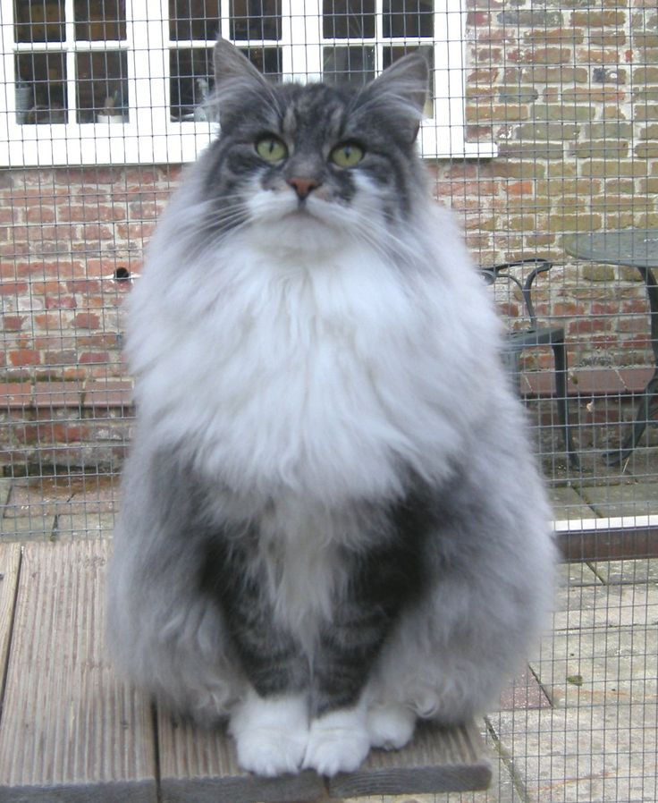 Norwegian Forest Cat - complete with a Viking beard and mustache
