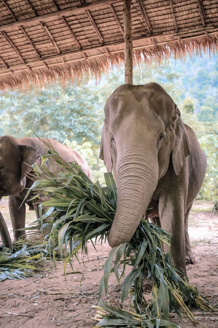 THE HARSH TRUTH ABOUT RIDING ELEPHANTS IN THAILAND | Elephant Nature Park | Here & Air